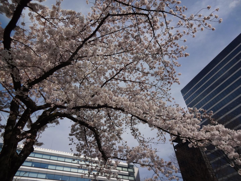 お花見日和!中野セントラルパークで四川フェス!桜から始まるエンターテイメント
